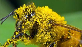 Конопляний мед