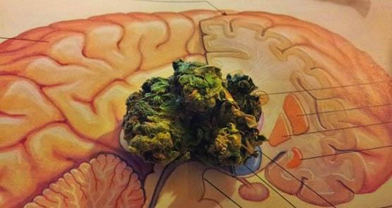 brain-weed-havard