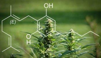 CBG, cannabinoid baru siap pakai