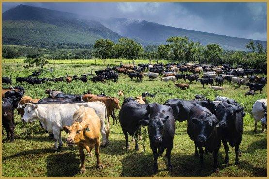 maui-cattle-co-the-best-jpeg-1070-copy