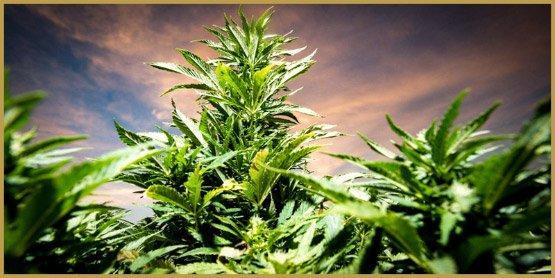 hennep, marihuana, CBD