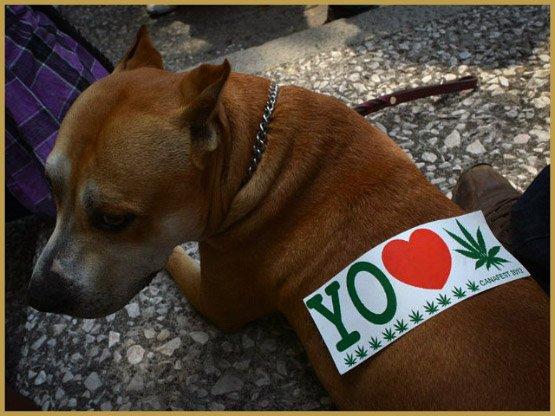 собака-марихуана-Гетти-изображения 640x480