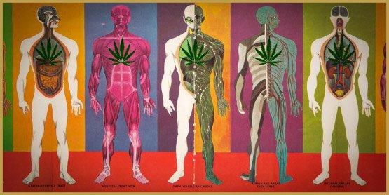 La longue vie du THC