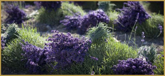 лікарські трави-9-