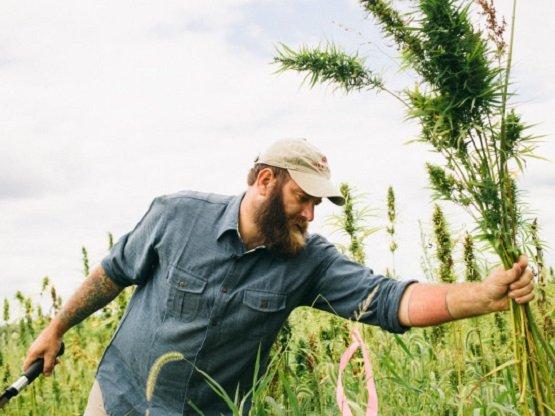 Chanvre marijuana,hemp marijuana