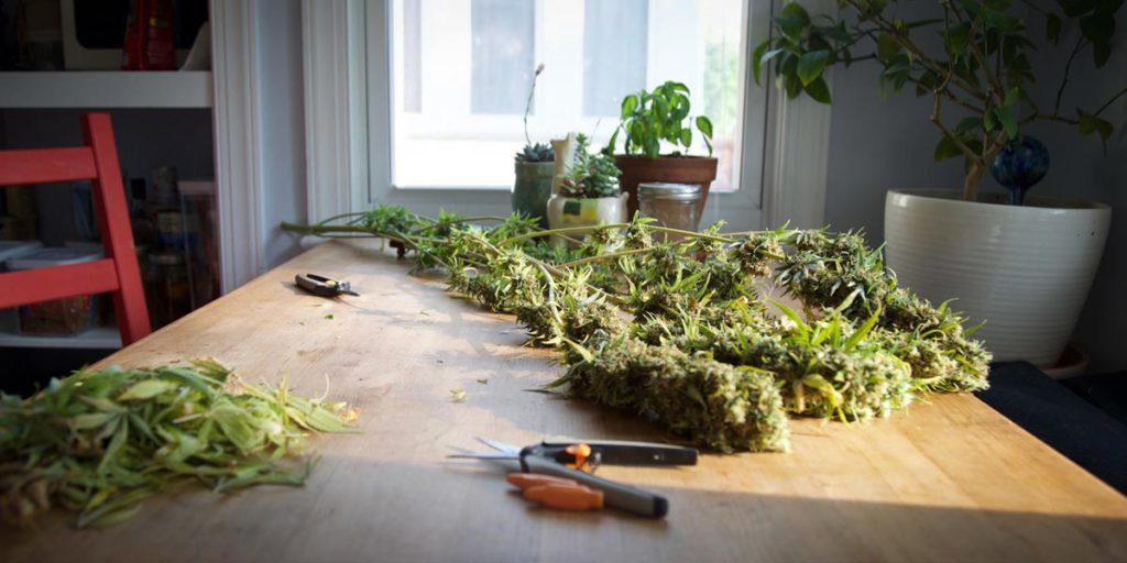 Coating in cannabis