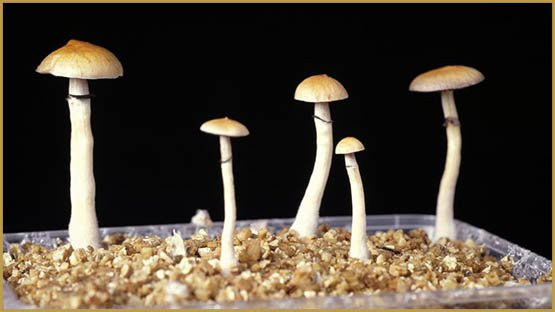 Psilocybin promotes the growth of new brain cells