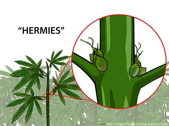 identifier les plantes mâles et femelles