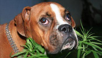 Cânhamo para cães estressados