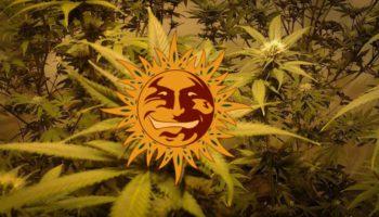 LSD : la souche psychédélique