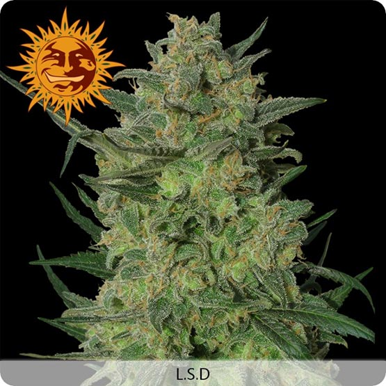 LSD: la cepa psicodélica