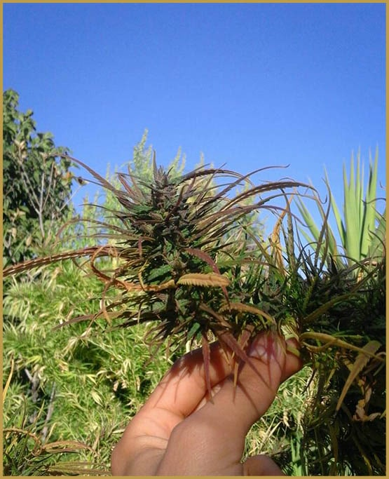 Zamal, sativa cannabis from Reunion