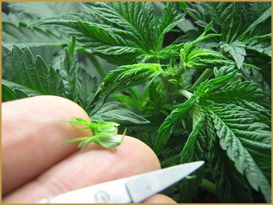 Optimaliseer de grootte van cannabis