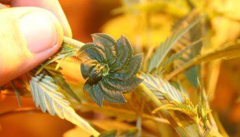8 mutations génétiques de cannabis