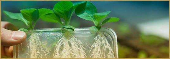 THC, biotehnoloogia, tubakas