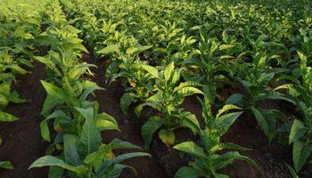 Native tabak om te stoppen en cannabis zonder THC