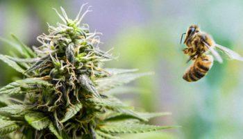 La sauvegarde des abeilles par le cannabis
