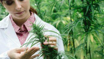 93% des patients préfèrent le cannabis aux antidouleurs