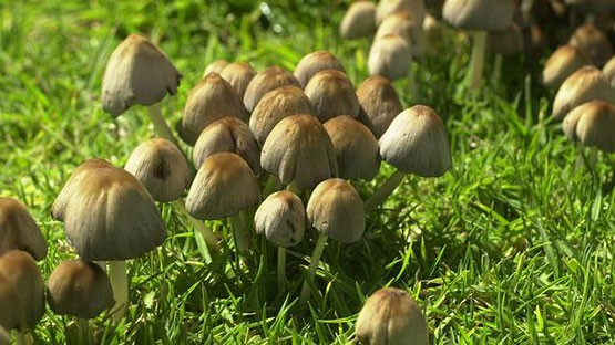 La Californie en route pour la légalisation des champignons psychédéliques