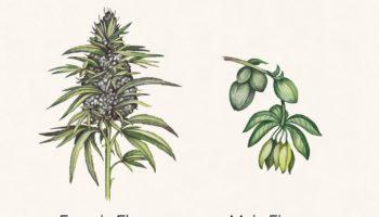 plante,mâles,Anatomie du cannabis,anatomie
