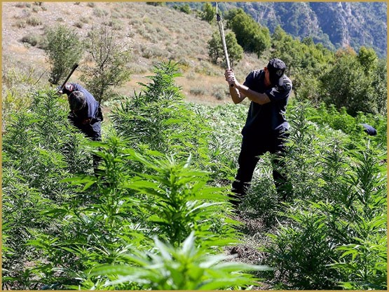 how to avoid destroying your production, How to avoid destroying your production, avoid destroying your cannabis