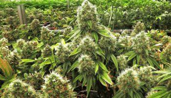 De meilleurs bourgeons avec le rinçage de vos plantes avant la récolte