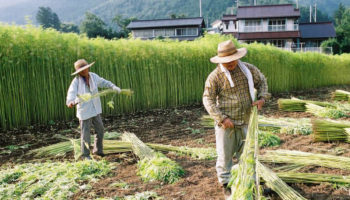 Traces préhistoriques de cannabis découvertes au Japon