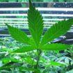 Première étude scientifique sur la culture optimale du cannabis