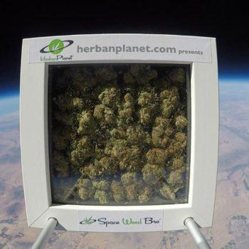 «Space Weed Bro» первый межгалактический бутон