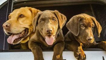 Cani da fiuto addestrati a ignorare le erbacce