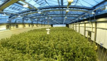 production de cannabis,Canopy,Spectrum cannabis,Danemark
