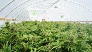 L'entreprise canadienne Aurora exportera du cannabis en Italie