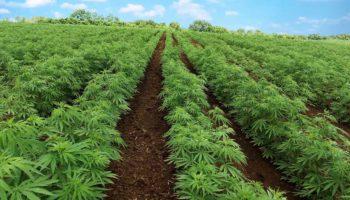 Legalisasi rami industri disetujui oleh Senat Amerika Serikat