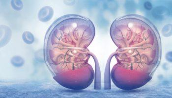 CBD suojaa munuaisten rakennetta ja toimintaa
