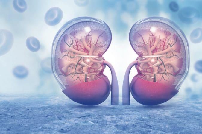nyrefunktion, negativ indvirkning, CBD -effekt, nyrestruktur, nyrer, cbd -nyrer, cbd -nyre, cbd -nyreolie, bio -cbd -nyrer