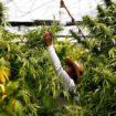 Des variétés jamaïcaines s'implantent dans le cannabis médical canadien
