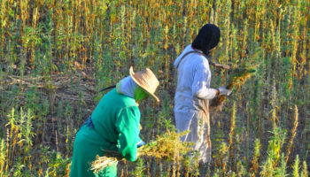 Morocco cấm trồng kif