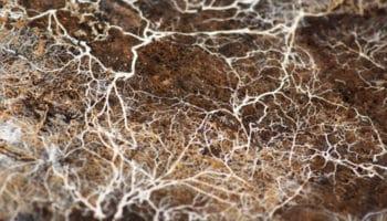 Sieni-myseeliä kannabiksen viljelyssä