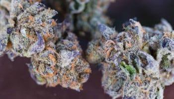 Frost, medicinale kief, Aurora Cannabis