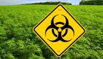ГМО, генетически модифицированный каннабис