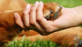 CBD voor honden, honden met artritis, CBD olie artritis, artritis
