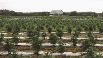 Kentucky, tabak, industriële hennep
