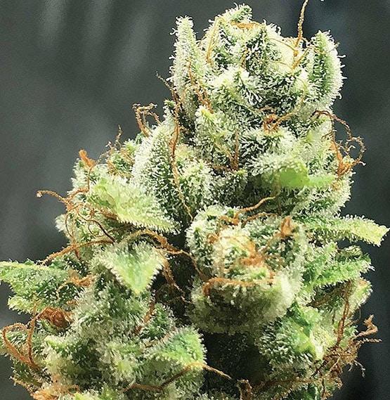 10 variétés de cannabis les plus primées
