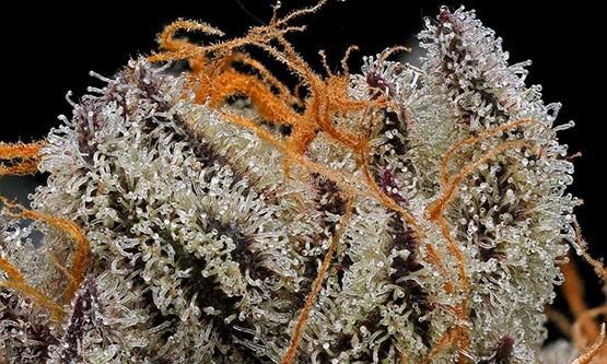 10 variétés de cannabis