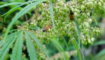 bee, pollen, industrial hemp, hemp