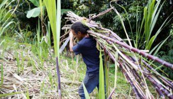 zamal, Đảo Reunion, CGPER, người trồng rừng