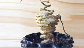 cultivo, Bonsai