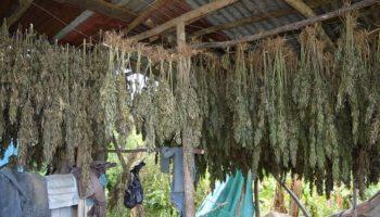Một trang trại ganja ở giáo xứ Westmoreland, Jamaica