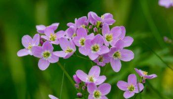 plant, therapeutische cannabinoïden