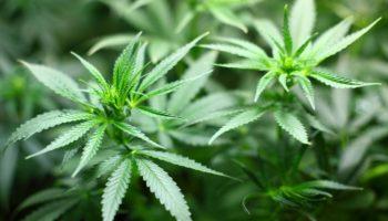 The European market, United Kingdom cannabis